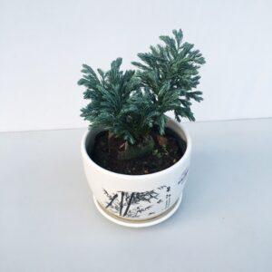Cây Tuyết Tùng trồng chậu