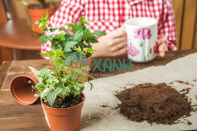 Đất trồng cây thường xuân