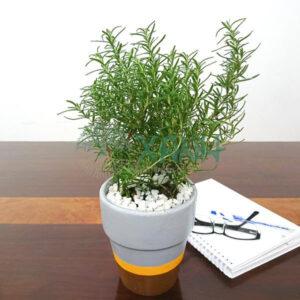 cây cảnh, cây hương thảo