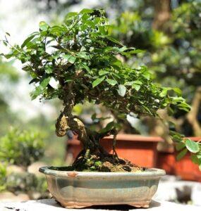 Cây cảnh, cây Nguyệt quế