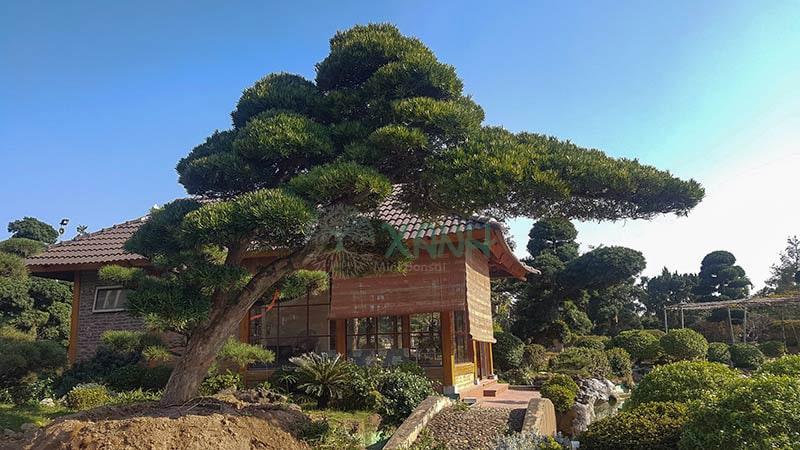 Cây Tùng La Hán trong tự nhiên