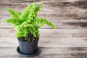 Cây dương xỉ trồng trong chậu
