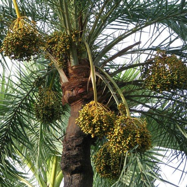 Giống cây chà là tại Việt Nam
